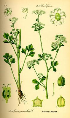целина / Apium graveolens