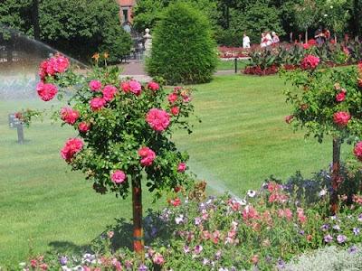 Лятната градина на Мелиса(майка и ) Rose