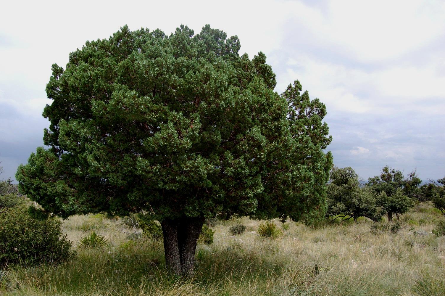 Dots daisies under the juniper tree for The juniper