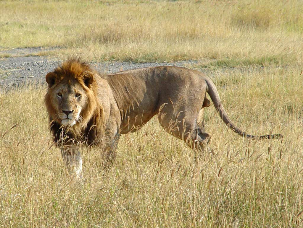 animal aggresive lion angry lion wallpapers big cats lion lions lions ...