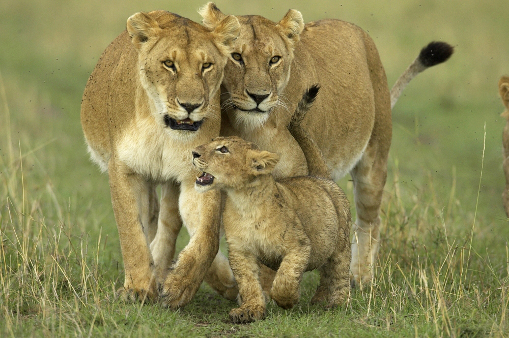African Lion Photos,