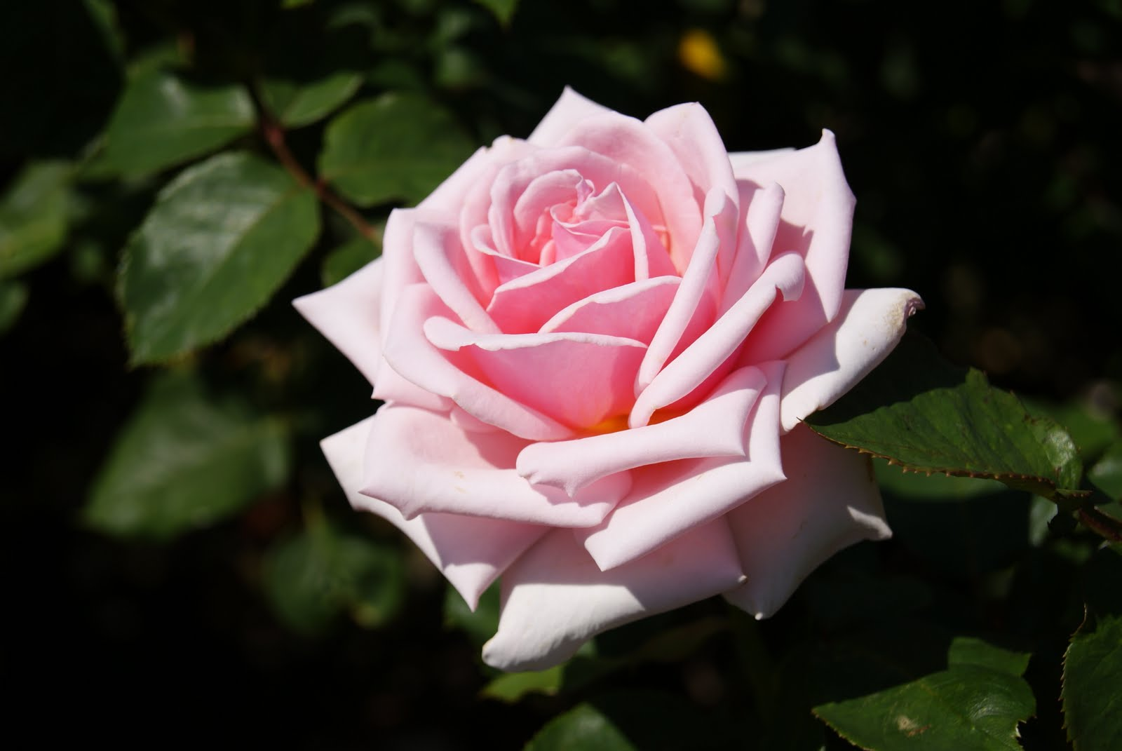 バラの画像 p1_24
