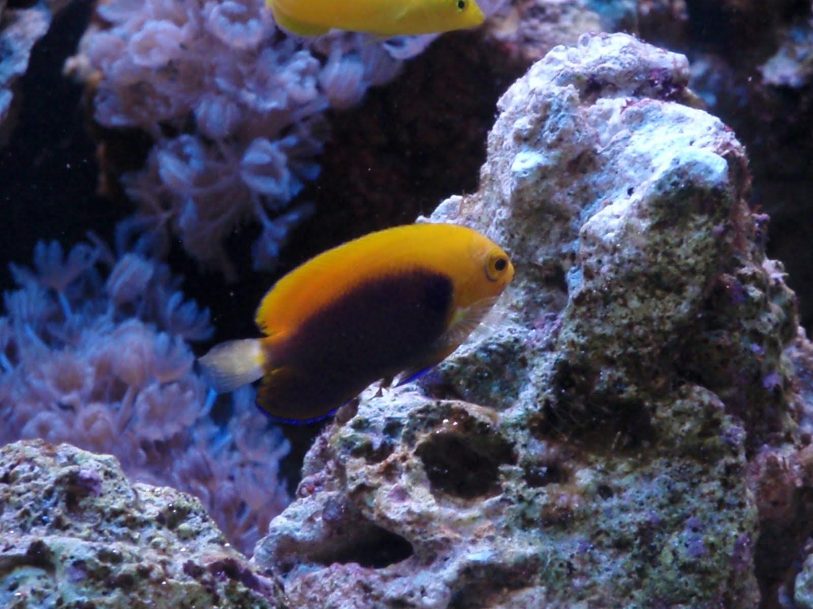 links http www aquaticcommunity com marine angelfish africanflameback ...