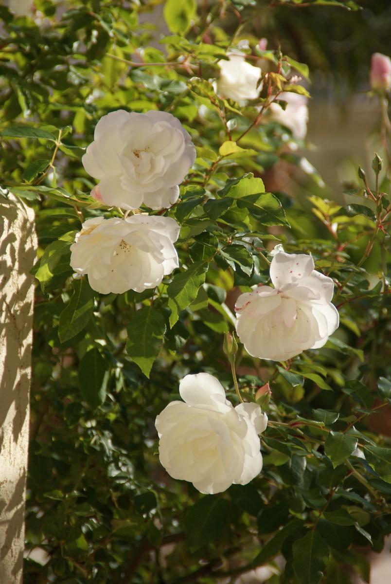 organic garden dreams rose of the month 39 iceberg 39. Black Bedroom Furniture Sets. Home Design Ideas