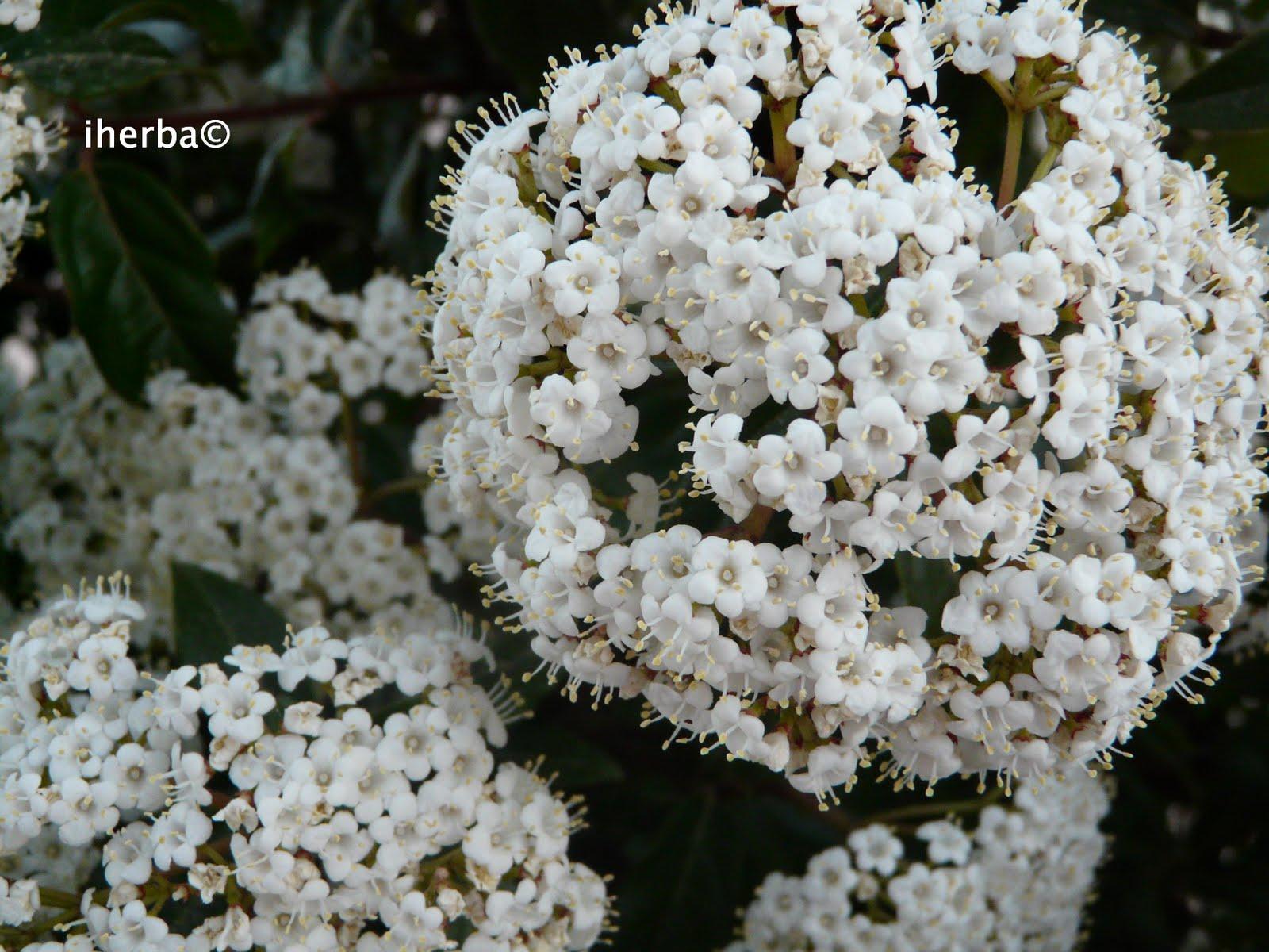 El mundo de las plantas de iherba galer a de fotos for Arbustos de hoja caduca