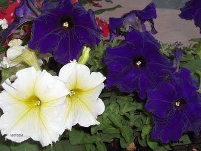 El mundo de las plantas de iherba petunias - Calibrachoa perenne ...