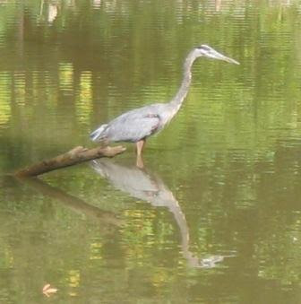 great blue heron at Roosevelt Island