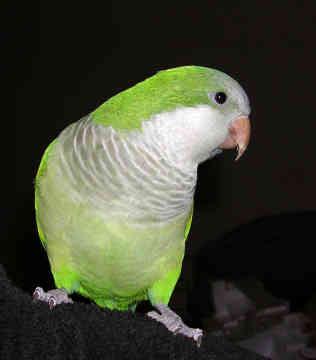 اجمل صور الببغاء  Quaker-parrot-0020