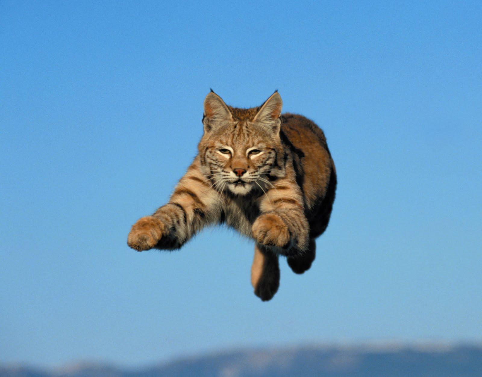 http://2.bp.blogspot.com/_izzD5qnVyWo/TIF17a6tPuI/AAAAAAAAFqs/DwRX33O4w5Q/s1600/wildcat.jpg