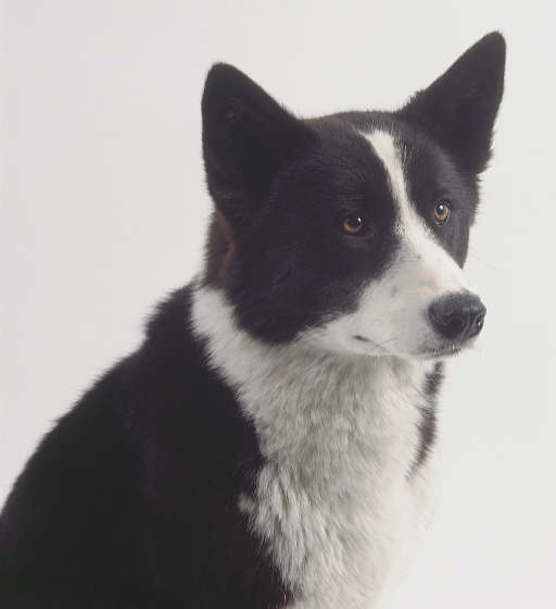 karelian bear dog womans best friend pinterest bear dogs bears and dogs