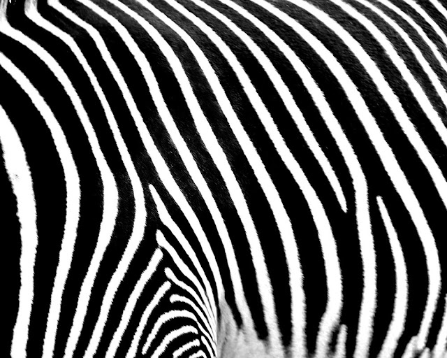 Zebra Photo #8 Zebras Stripes