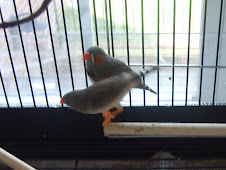 Winston and Lola the Zebra Finches