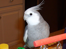 Monty the White faced Cockatiel