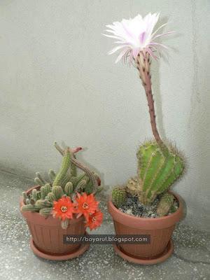 flori cactus 2008