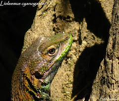 Reptiles de Chile
