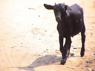 http://2.bp.blogspot.com/_j3QBW58gcoc/S0E0CKFKjpI/AAAAAAAAEK4/F7BbG2T0gks/s320/Black+Bengal+Goat.jpg