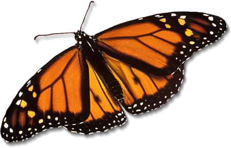 monarch-butterfly_large.jpg