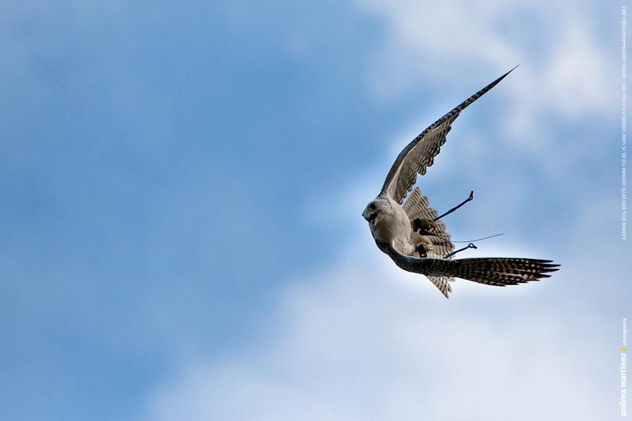 Falconiformes. sub Falconidae - sub fam Falconinae - gênero Falco - Página 3 AM-20100327-9361-Falco+rusticolus