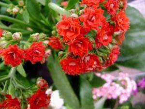 Flores E Folhas Df Como Cuidar De Calandivas