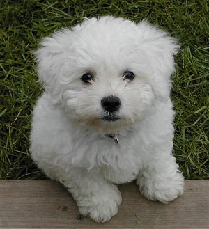 bichon poodle mix???