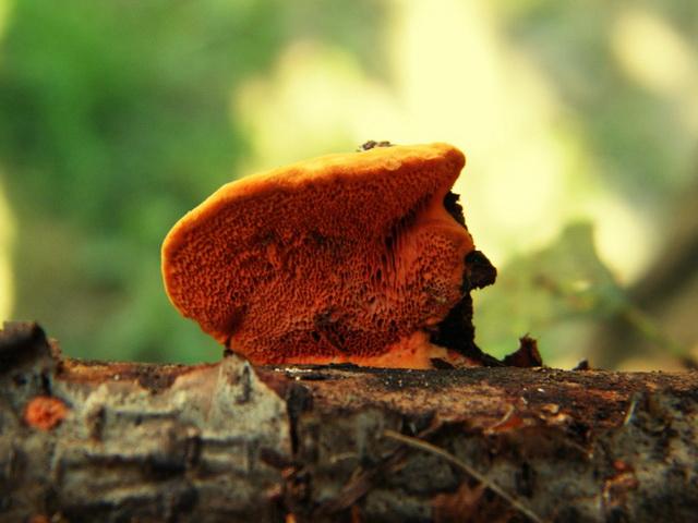 Pycnoporus cinnabarinus