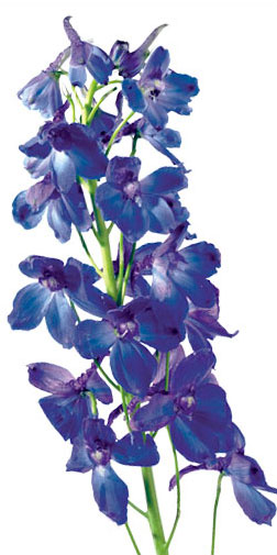 blue flowers bouquet. Blue Flowers View our ouquets