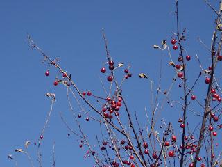 лысыя вишня