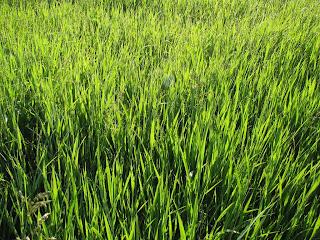 солнечная трава