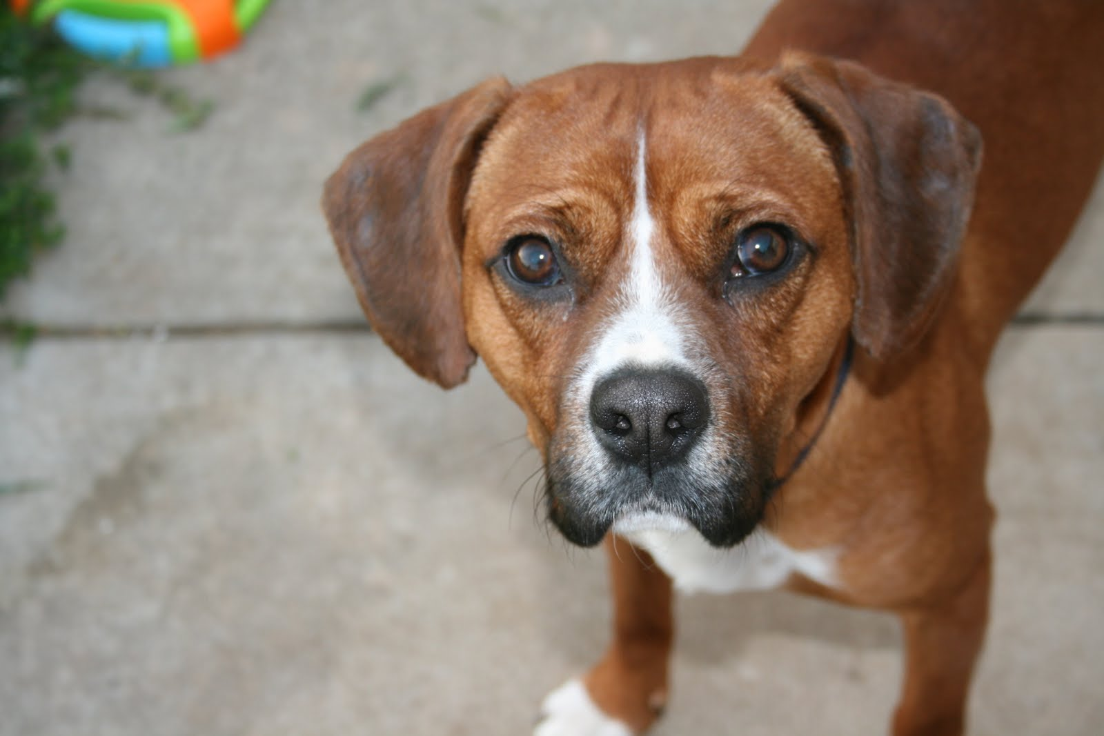 Boxer Beagle Mix Temperament | Dog Breeds Picture
