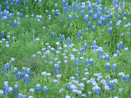 The Bluebonnets Came Up Wild On My Land This Year