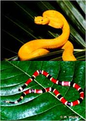 Serpiente Pestaña y Coral