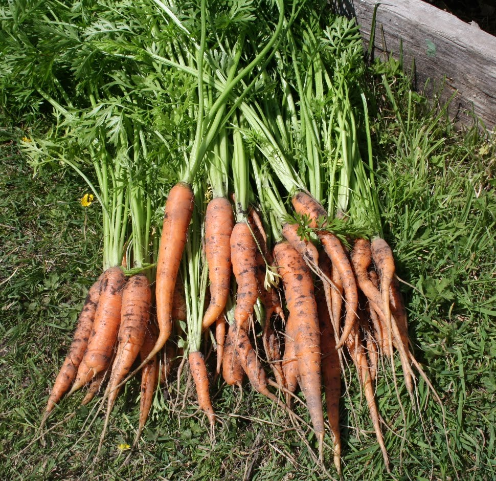 Carrot Plant - Viewing...
