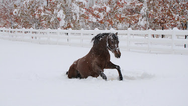 Quintero my beautiful Andalusian playing in the snow