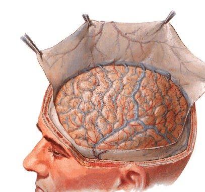 Resultado de imagem para cérebro humano anatomia