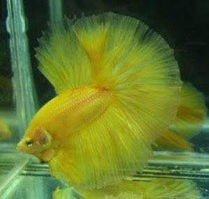foto ikan cupang gambar hewan