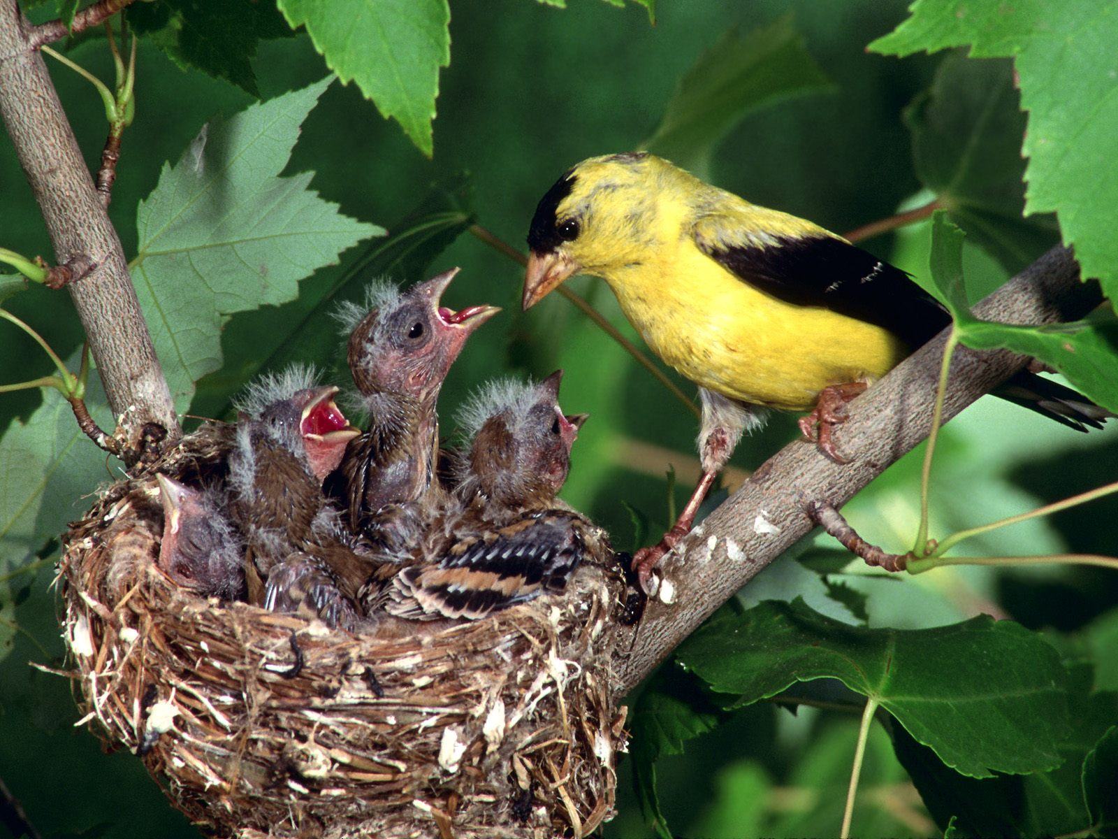 Gold Finch Feeding His Young Ones Birds Pictures Wallpapers
