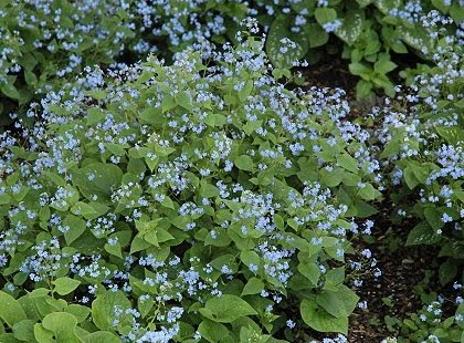 Gardening in vermont perennials and annuals perennials for foliage the perennial world and it will become a classic the silver foliage glows in the shade garden it has inconsequential small blue flowers in the spring mightylinksfo