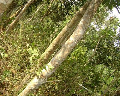 lawachhara, rain forest, moulovibazar