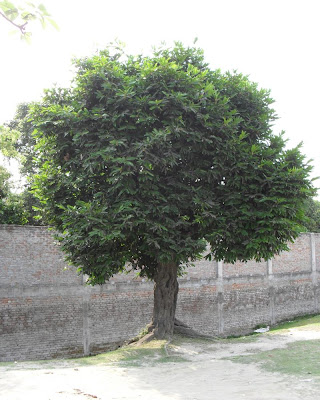 gab gachh, gaab tree, bangladesh, fol, fruit