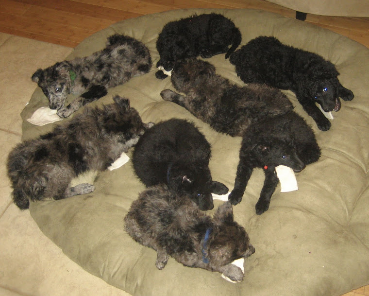 MUDI PUPPIES AVAILABLE
