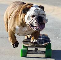 The Bull-dog who loves ' Skateboarding ':really Cool video