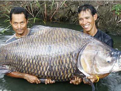 Resep 1 Umpan Ikan Mas
