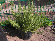 Rosemary not contrary!