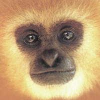 wild gibbon in Thailand