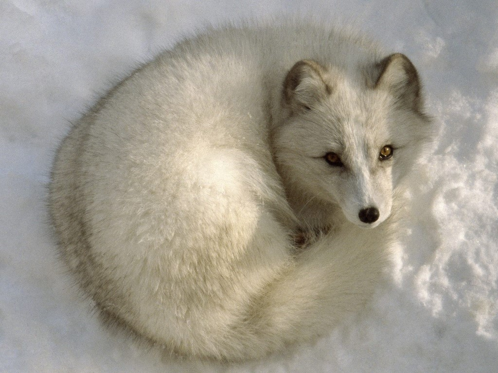 arctic fox cute white - photo #18