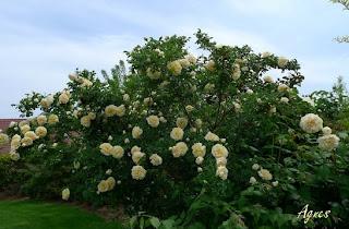 Que faire ce mois dans mon jardin annetois mes rosiers - Taille des rosiers buisson ...
