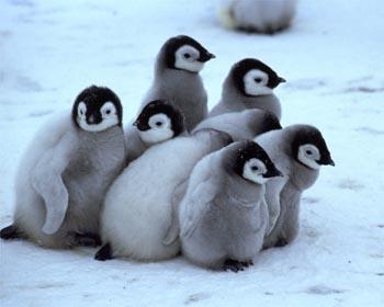 http://2.bp.blogspot.com/_jLdgTqx2c8c/TDdQpGXc2aI/AAAAAAAAADk/hsIsvyBJ7Mw/s1600/cute-baby-penguin5.jpg