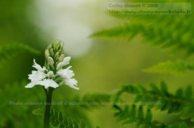 Photo orchidée sauvage à fleurs blanches (dactylorhiza)