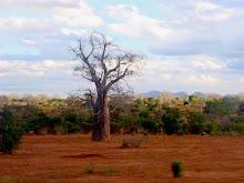 Baobab andante