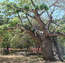Arriba de un baobab